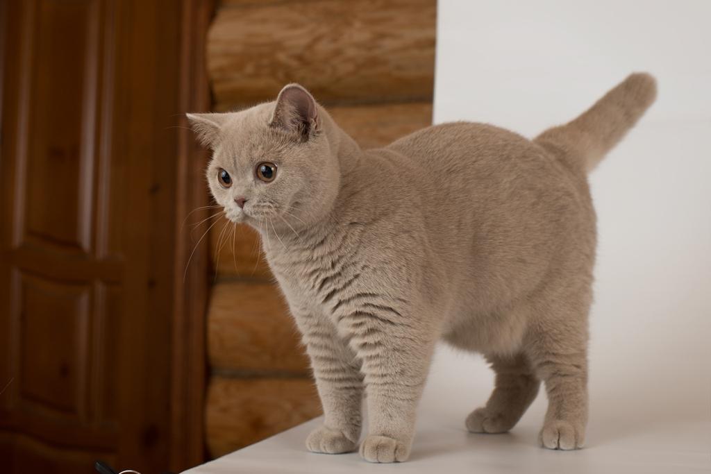 нательные виды британских кошек фото птиц карандашом