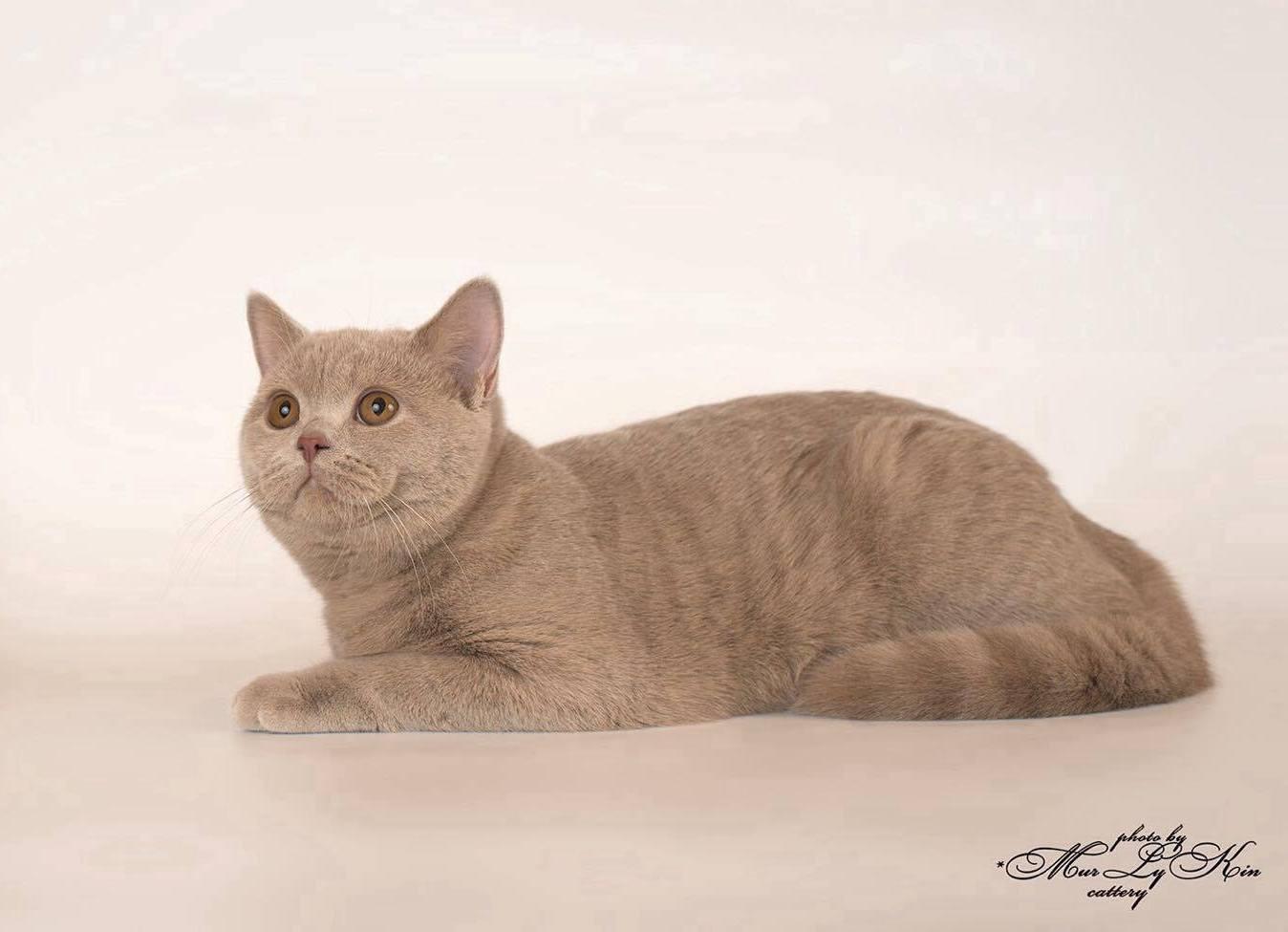 Названия окрасов британских кошек с фото